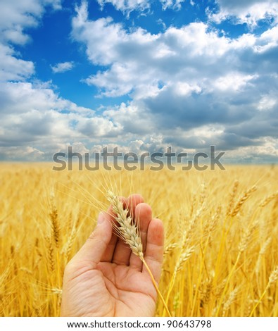 golden harvest in hand over field under dramatic sky