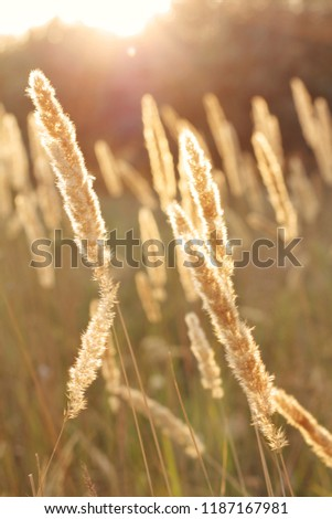Stock Photo Golden harvest spike field with sunset on background. Selective focus