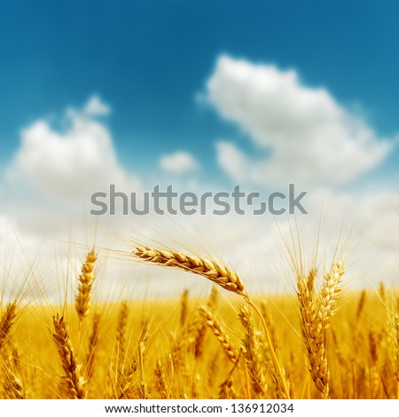 golden harvest under blue cloudy sky. soft focus on bottom of picture