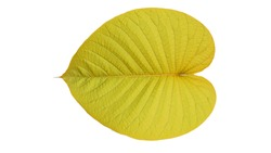 Golden heart shaped leaves on a white background
