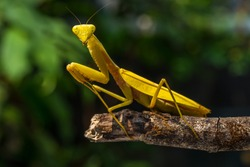 Golden heurodulla pray mantis in branch