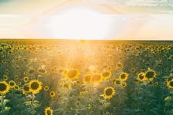 Golden hour sunset on a sunflower field, bokeh effect, blurry sunset