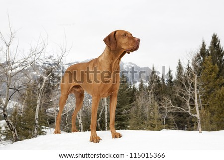golden hunting dog standing on snow in the forest