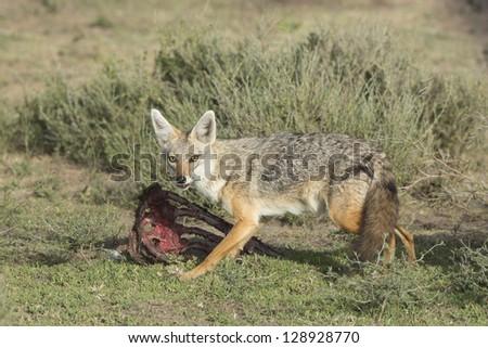 Golden Jackal (Canis aureus), Tanzania feeding on wildebeest carcass, Serengeti
