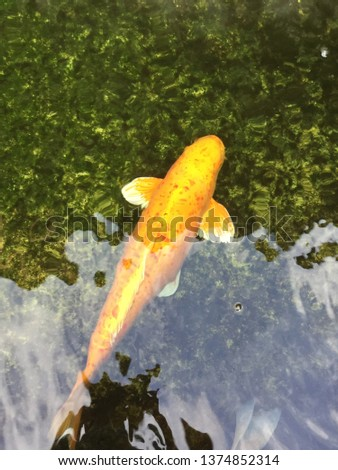 Beautiful golden koi fish in the fish ponds Free Images and