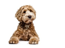Golden Labradoodle laying down with closed mouth and looking sideways  isolated on white background
