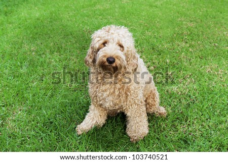 Golden labradoodle sitting in lush grass.