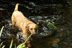 Golden labrador dog with a stick in his mouth walking through river bed in nature in Scotland. Focus on the head of the dog. Water splashing in the river. Copy space.