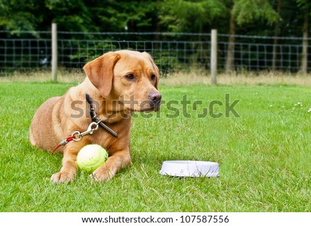 Golden Labrador lying in a grass enclosed field with ball and water bowl