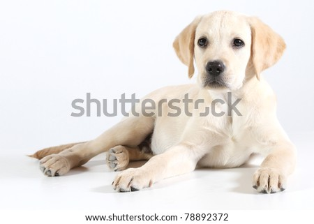 Golden Labrador puppy on a white background