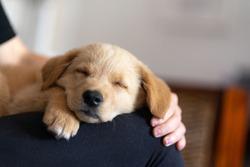 Golden labrador puppy resting on a white sofa