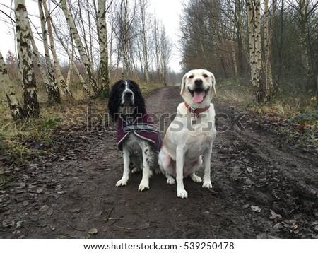 Golden Labrador retriever and a black and white springer spaniel sat down on a walk