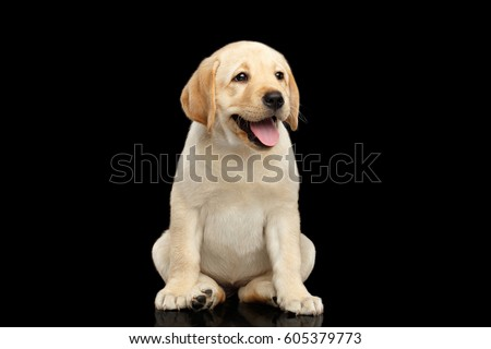 Stock Photo Golden Labrador Retriever puppy funny sitting and smiling isolated on black background, front view