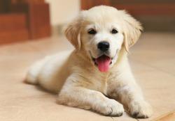 Golden Labrador retriever puppy indoor
