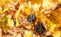 Golden leaves and bunches of ripe red grapes on vineyard after harvesting. Alicante, Spain