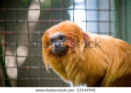 Golden Lion Tamarin at the Woodley Park Zoo in Washington, DC