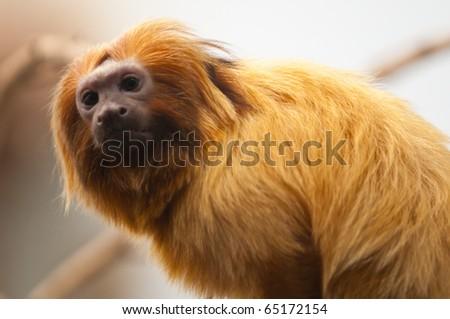 Golden lion tamarin monkey, leontopithecus rosalia - stock photo