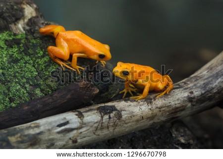 Golden mantella (Mantella aurantiaca). Wild life animal.  #1296670798