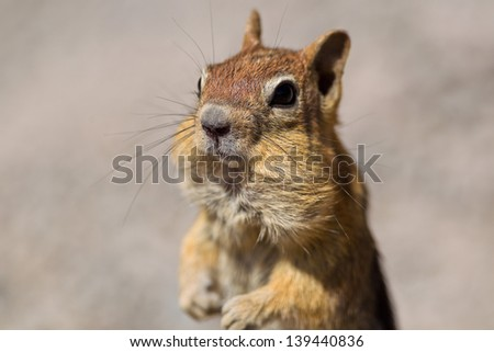 Golden-mantled ground squirrel (Callospermophilus lateralis). The golden-mantled ground squirrel is a type of ground squirrel found in mountainous areas of western North America.