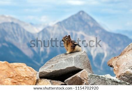 Golden-mantled ground squirrel in Jasper National Park in Canada