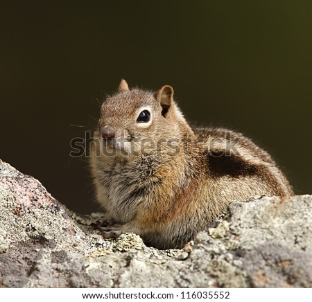 Golden-mantled ground squirrel poses on a rock by a hiking trail in Rocky Mountain National Park, near Denver, Colorado
