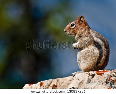 Golden Mantled Ground Squirrel sitting on a rock