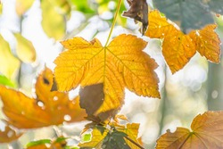 Golden maple leaves on tree branch in autumn coloured woodland on beautiful, warm and sunny day.Backlit bokeh.Beauty in nature.Season change in british forest.Bright, high key seasonal image.