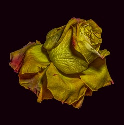 Golden metallic aged surreal rose blossom,black background,vintage painting style,fantasy, fantastic realism,decay age,time,fading, old