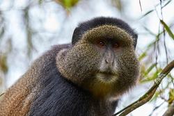 Golden monkey in the bamboo forest of Volcanoes national park, Rwanda