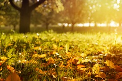 Golden morning sun rays on green grass in autumn. Beautiful nature background. Very shallow depth of field.