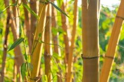 golden natural Asian background of bamboo shoot at bamboo garden.