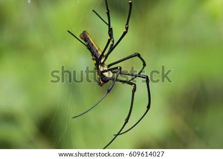 Golden Orb Spider #609614027