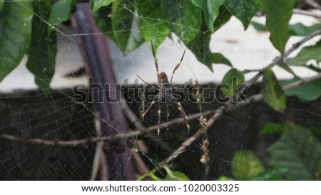 Golden orb weaver (Nephilidae) sits in middle of large web, with row of orbs trailing down to one side. #1020003325