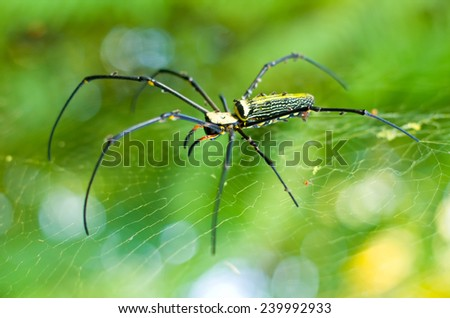 golden orb weaver spider in the ...