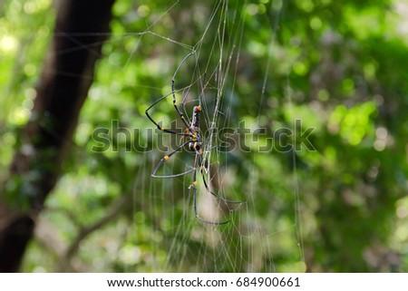 Golden Orb weaver Spider.(Nephila pilipes) #684900661