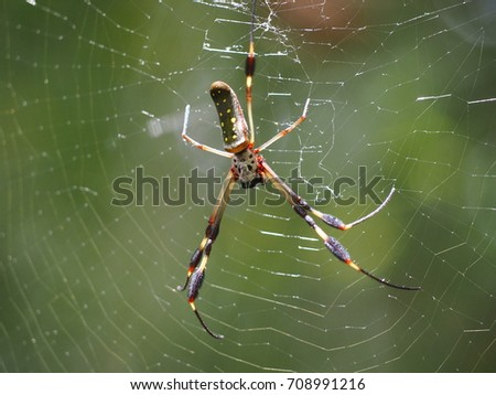 Golden orb weaves spider #708991216