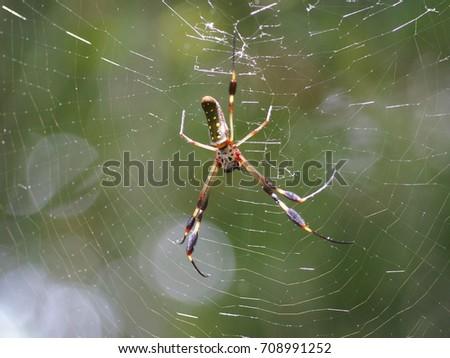Golden orb weaves spider #708991252
