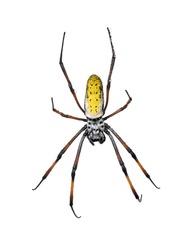 Golden Orb-web spider, Nephila inaurata madagascariensis, against white background