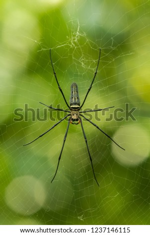 Stock Photo Golden orb-web spider, Nephila pilipes, Khao Sok, Thailand