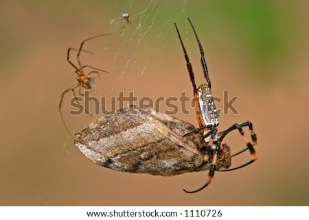 Golden orb web spider (Nephilidae senegalensis) with moth, South Africa