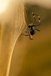 Golden Orb web Spider on web