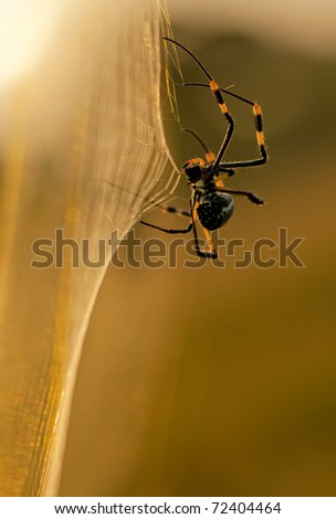 Golden Orb web Spider on web - stock photo