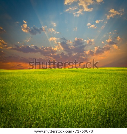 Golden paddy field and sunset