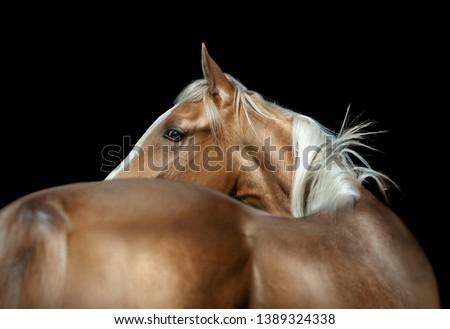 golden palomino akhal-teke colt on black background #1389324338
