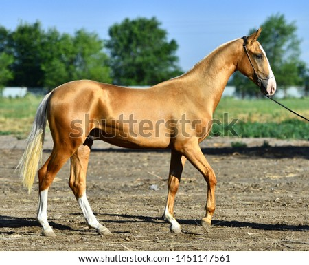 Golden palomino Akhal Teke horse standing on the road in summer. Exterior view. #1451147561