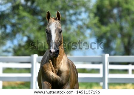 Golden palomino Akhal Teke stallion running forward. Animal portrait. #1451137196