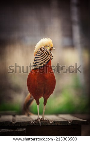 Shutterstock Golden pheasant, bird, red, portrait, yellow head