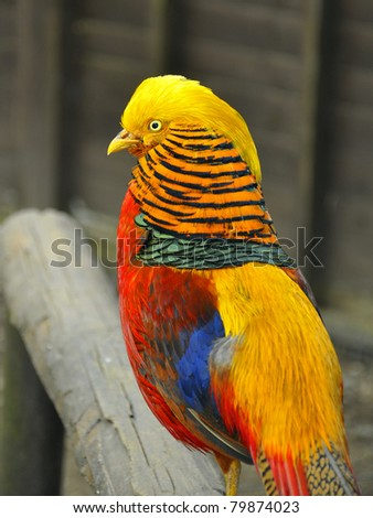 Golden pheasant - illustration of birds life at farm or zoo.