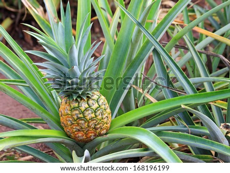 Golden Pineapple is growing