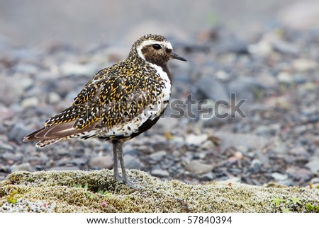 Golden Plover - Iceland